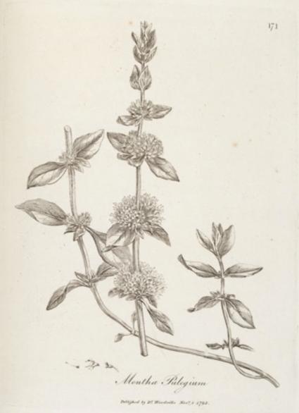 Mentha Pulegium